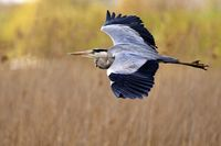 common grey heron in flight