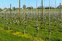 Apple tree plantation with young trees in spring, canton of Thurgau, Switzerland