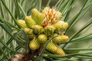 Macro close up of a blooming european black pine