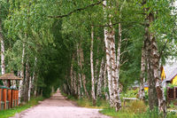 white-trunked birch grove, birch trees on the roadsides, birch alley