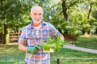 Hobby Gärtner mit einem Korb Basilikum