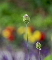 ZierlauchKnospen (Allium sp.) vor bunten Blumenbeet