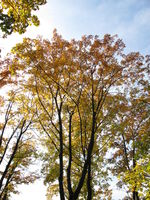 Deciduous trees with typical leaf coloring in autumn