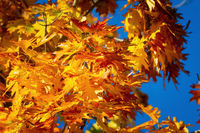 Sycamore leaves in autumn