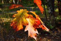 Leaves of the red oak