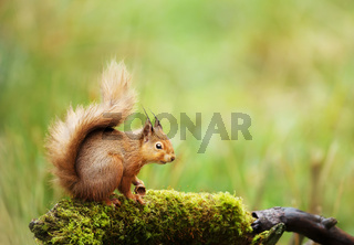 Red squirrel sitting on a mossy log
