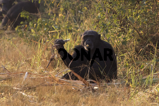 common chimpanzee who sits at the edge of the forest and has a cane of sugar cane