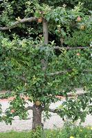 espalier tree
