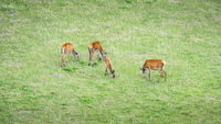 four red deer in the green meadow