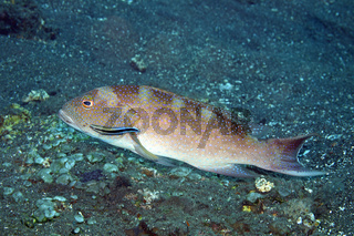 Grouper and Cleaner Wrasse