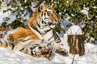 Two siberian tiger, Panthera tigris altaica, male and female cuddling, outdoors in the snow.