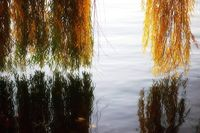 Autumn leaves weeping willow