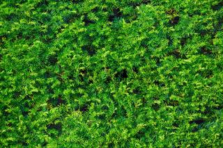 Coniferous green hedge
