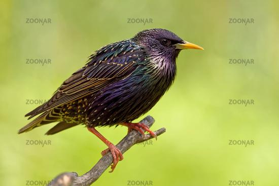 Common starling in bredding plumage