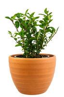 Isolated potted ilex crenata bush