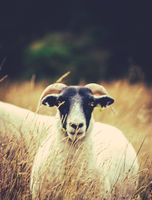 Sheep In The Long Grass