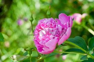 Flowers of pink peony in the home garden.