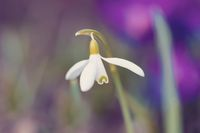 spring flower Galanthus Snowdrop