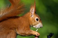 Red Squirreleating bird seed
