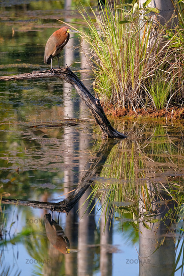 Rufescent Tiger Heron, Tigrisoma Lineatum, reflection in the lagoon Lagoa das Araras, Bom Jardim, Mato Grosso, Brazil
