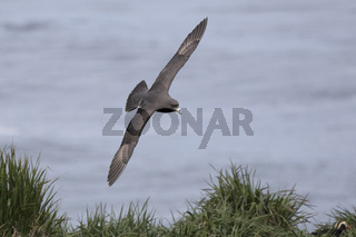 northern fulmar dark morph that flies over a grassy slope