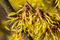 Witch Hazel Hybride, Hamamelis intermedia