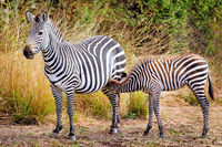 Plains Zebra with a young one, South Luangwa National Park, Zambia