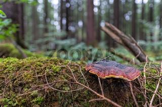 Mushroom growing on tree in a green forest.