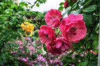 pink rose flowers in seoul rose festival