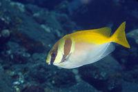 Doublebar Rabbitfish, Siganus virgatus