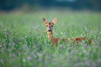 Roe deer doe hidden in clover peeking out facing camera in summer.