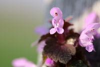 Blossoming Deadnettle