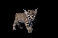 Baby Bobcat Kitten isolated on black