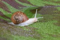 An albino garden snail, Cornu aspersum, on a variegated red banana leaf