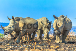 White rhinos in Umfolozi