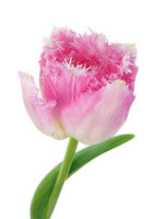 One real pink terry spring tulips flowers head isolated macro