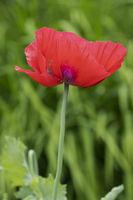 Garden poppy (Papaver)