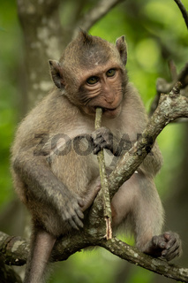 Baby long-tailed macaque in tree biting twig