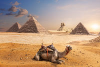 A camel of Giza in front of the Sphinx and the Pyramids, Egypt