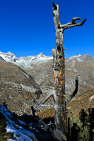 Dead wood above the Matter Valley with the village of Zermatt, Valais, Switzerland