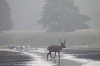 Red stag cross a pond