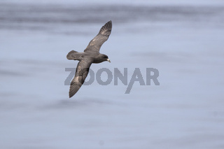 northern fulmar of a dark morph that flies on the waters of the Pacific Ocean