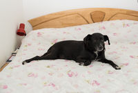 Dog lies in bed by the master - favorite place