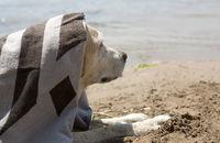 labrador at the beach