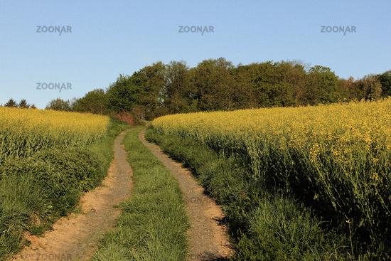 Path through the rape fields