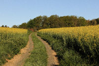 Path through the rape fields