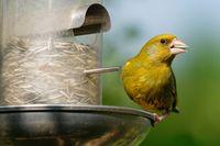 greenfinch feeding
