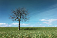 Lonely leafless tree standing on a green meadow hill.