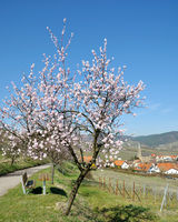 Springtime in Palatinate with famous Almond Blossom at german Wine Road,Germany