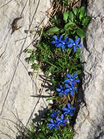 Gentiana verna, gentians growing in the Alps.